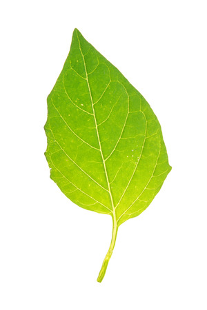 Green leaf of Tomatillo isolated on white Stock Photo