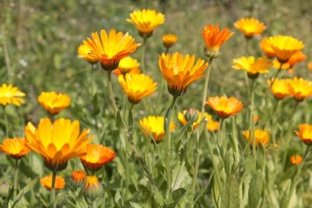Pot marigold (calendula) flowers Stock Photo
