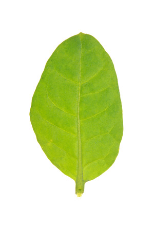 Rustic Tobacco green leaf isolated on white