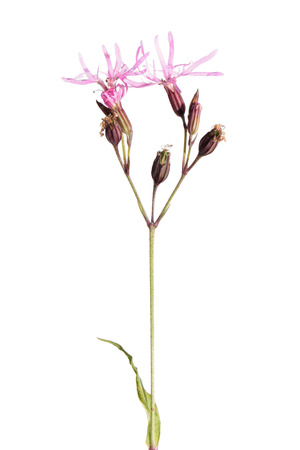 Lychnis flos-cuculi (Ragged Robin) isolated on white Stock Photo
