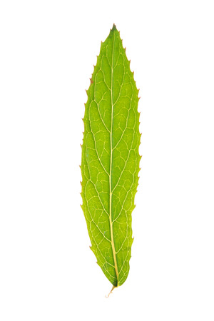 Green leaf of Great willowherb isolated on white Stock Photo
