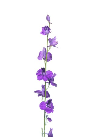 Twolobe larkspur (Delphinium officinale) isolated on white background