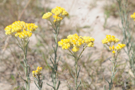 Dwarf everlast (Helichrysum arenarium) - medicinal plant with yellow flowers