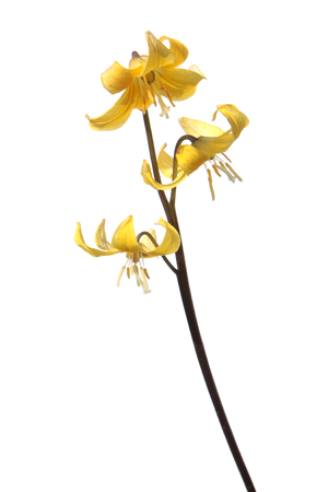 Yellow Tuolumne fawn lily (Erythronium tuolumnense) flower isolated on white background