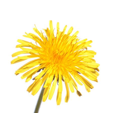 Dandelion flower isolated on white background Stock Photo