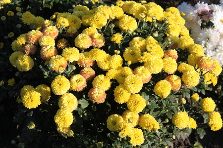 Yellow chrysanthemums. Yellow garden flowers