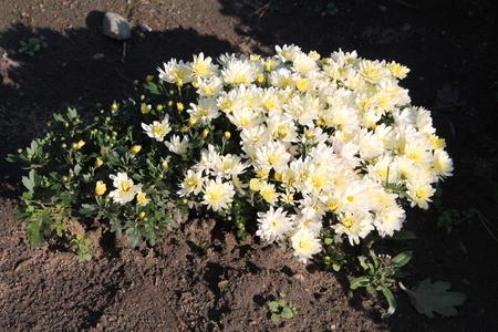 White chrysanthemums. White garden flowers