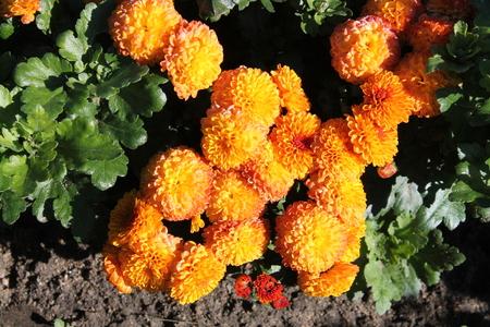 Orange chrysanthemums. Orange garden flowers