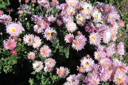 Pink chrysanthemums. Pink garden flowers