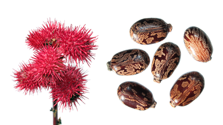 Red fruits of Ricinus isolated on white. Seeds of Castor Bean Plant (Ricinus communis) on white background