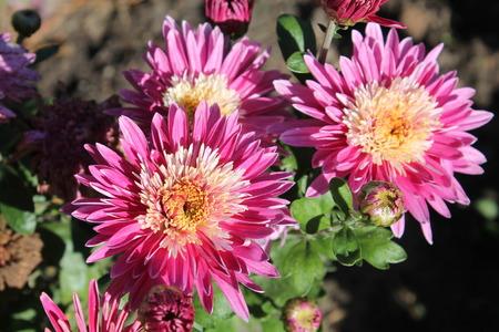 Flowers of pink dahlia