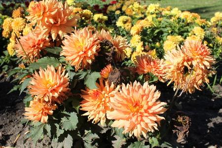Flowers of orange dahlia