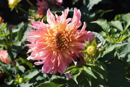 Flower of pink dahlia