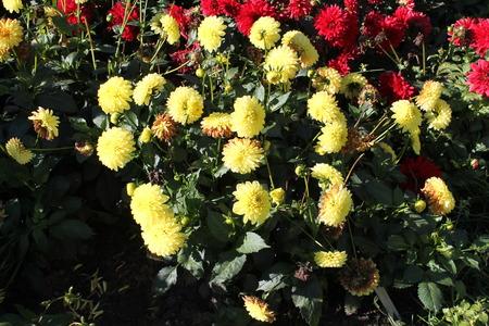 Flowers of yellow dahlia