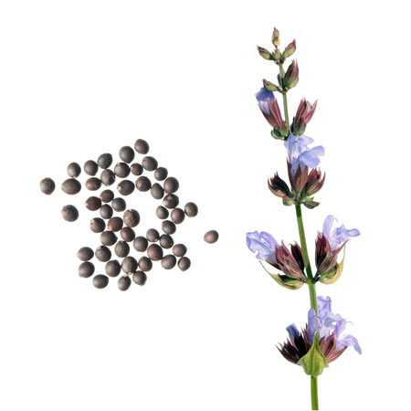 Common sage flower and seeds isolated on white background. Seeds of common sage (Salvia officinalis) on white background Stock Photo