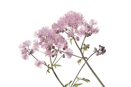 Siberian columbine meadow-rue (Thalictrum aquilegiifolium) isolated on white background. Medicinal plant with pink flowers
