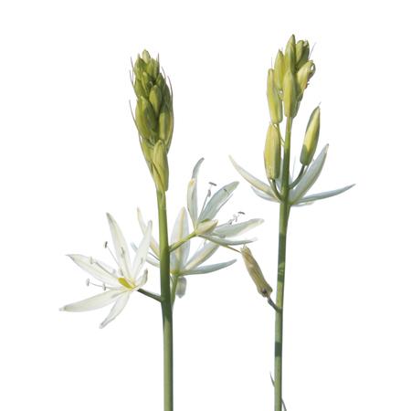 Star of Bethlehem flower (Ornithogalum ponticum) isolated on white background