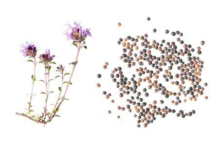 wild thyme (Thymus serpyllum). Flower and seeds isolated on white background Stock Photo