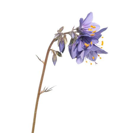 Jacobs ladder plant (Polemonium caeruleum) - medicinal plant isolated on white background