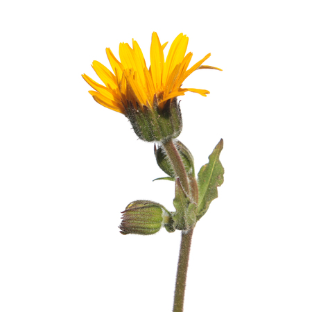 Flower of wolfs bane (Arnica montana) isolated on white background