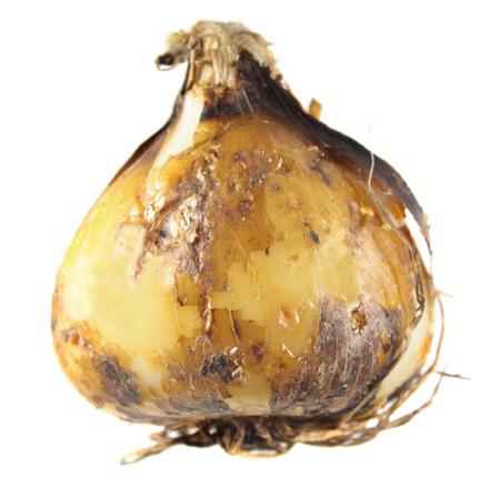 Bulb of camas or Indian hyacinth (Camassia) isolated on white background