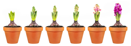 Hyacinth growth stage isolated on white background. Flowers in clay flowerpots