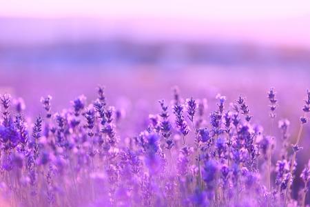 violeta: Flores de lavanda