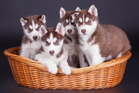 Husky dog puppies one month old in a basket over black background photo