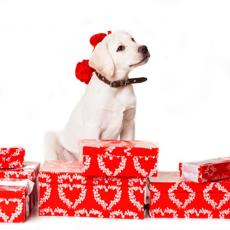 christmas puppy Stock Photo - 24422469