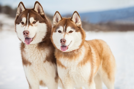 Two husky dogs closeup portrait photo