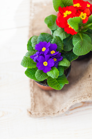 polyanthus: Primula flowers in plastic pot