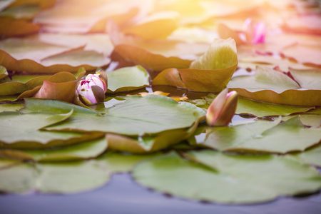 Lovely pink waterlily or lotus flower in pond. Imagens