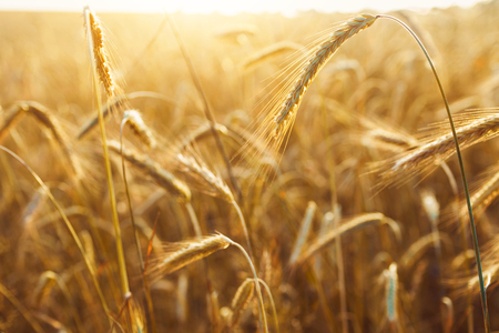 drenched: Field of wheat drenched in the sunlight