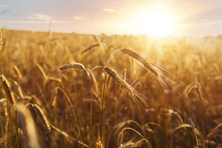 Field of wheat drenched in the sunlight