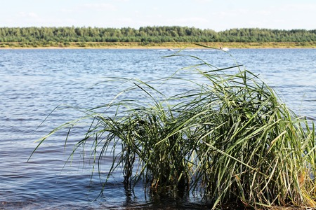 rushy: nature purity grass on the river bank