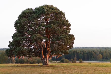 big old tree in a field rural road
