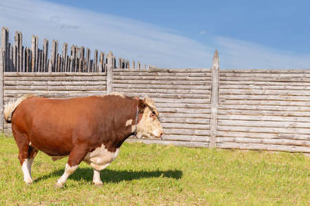 bull, big bull with a ring in its nose, stood majestically in a lush summer meadow by a wooden fence, a milk bull grazing in a green meadow.