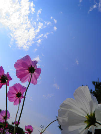 Pink cosmos flower Stock Photo - 16799980