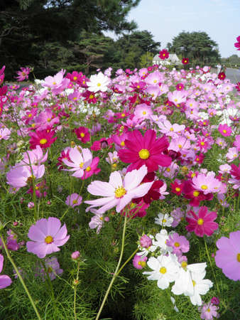 Pink cosmos flower 2 @ kazama14 photo