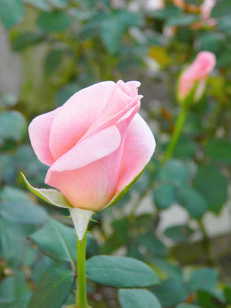 Pink rose 1 @ kazama14  photo