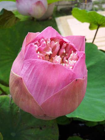 Pink lotus flower 1 Stock Photo - 16882615