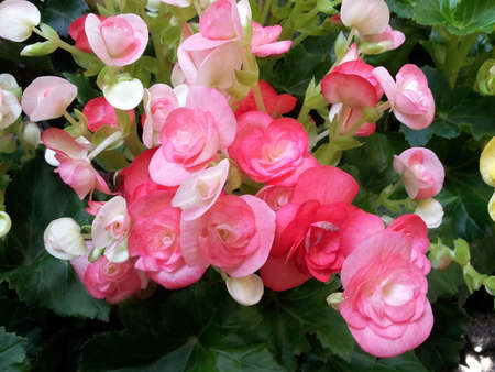 Begonia flower photo