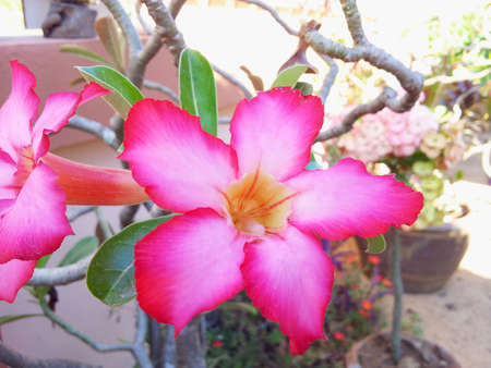 Impala Lily Adenium  Stock Photo - 17207746