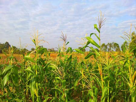 Corn farm Stock Photo - 17267094