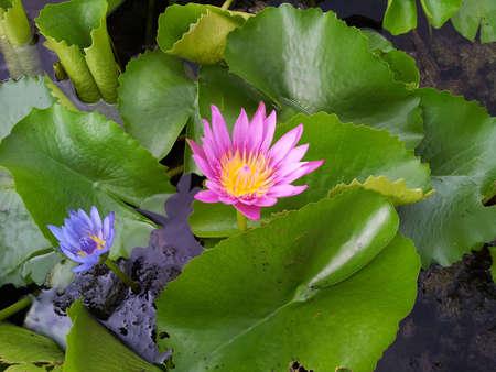 Pink lotus flower Stock Photo - 17309500