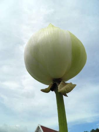 White lotus flower Stock Photo - 17309629