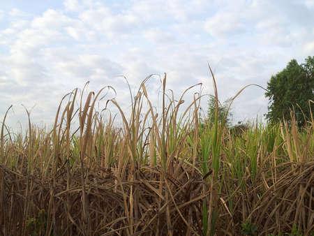 sugar cane farm: Sugar cane farm