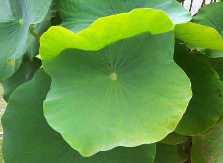 lotus leaf: Lotus leaf Stock Photo