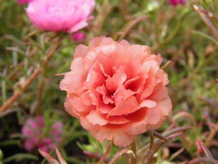 Purslane flower photo