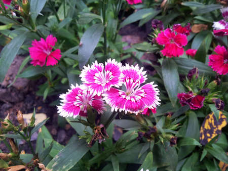 chinensis: Dianthus chinensis flowers